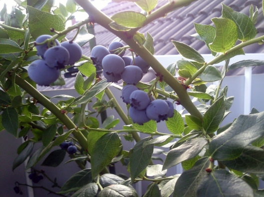 moms blueberries